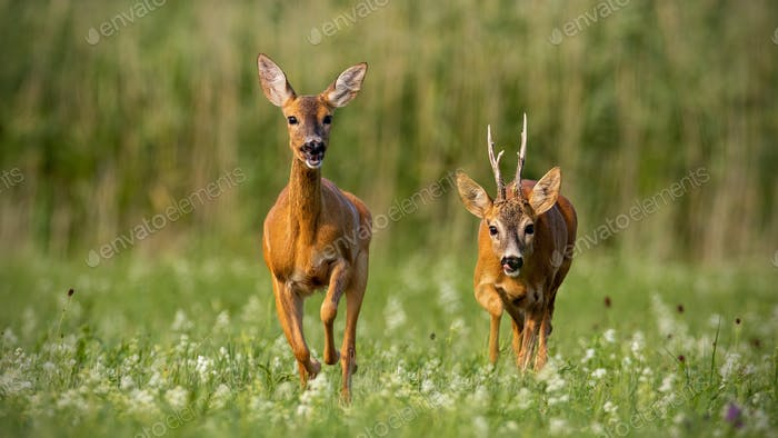 Roe deer, capreolus capreolus, buck and doe during rutting season