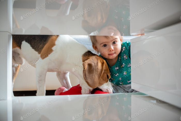 Dog with a cute caucasian baby girl. Beagle dog take and bite doll from cute baby girl in living