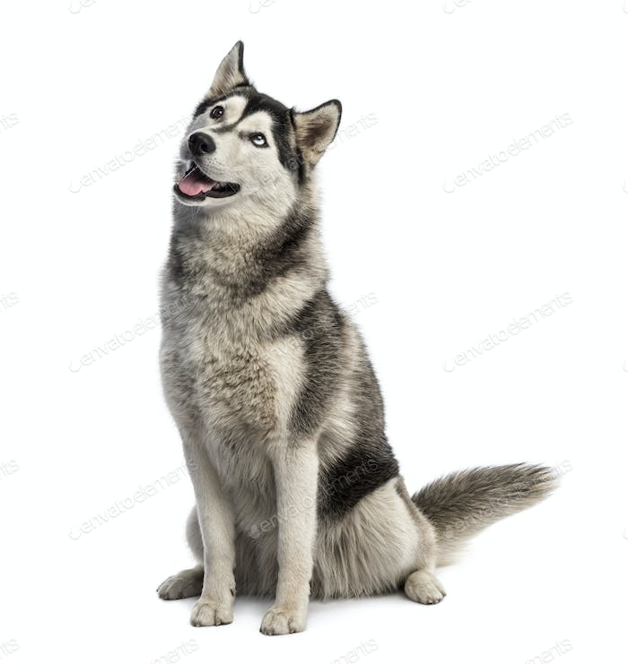 Siberian husky sitting and looking up