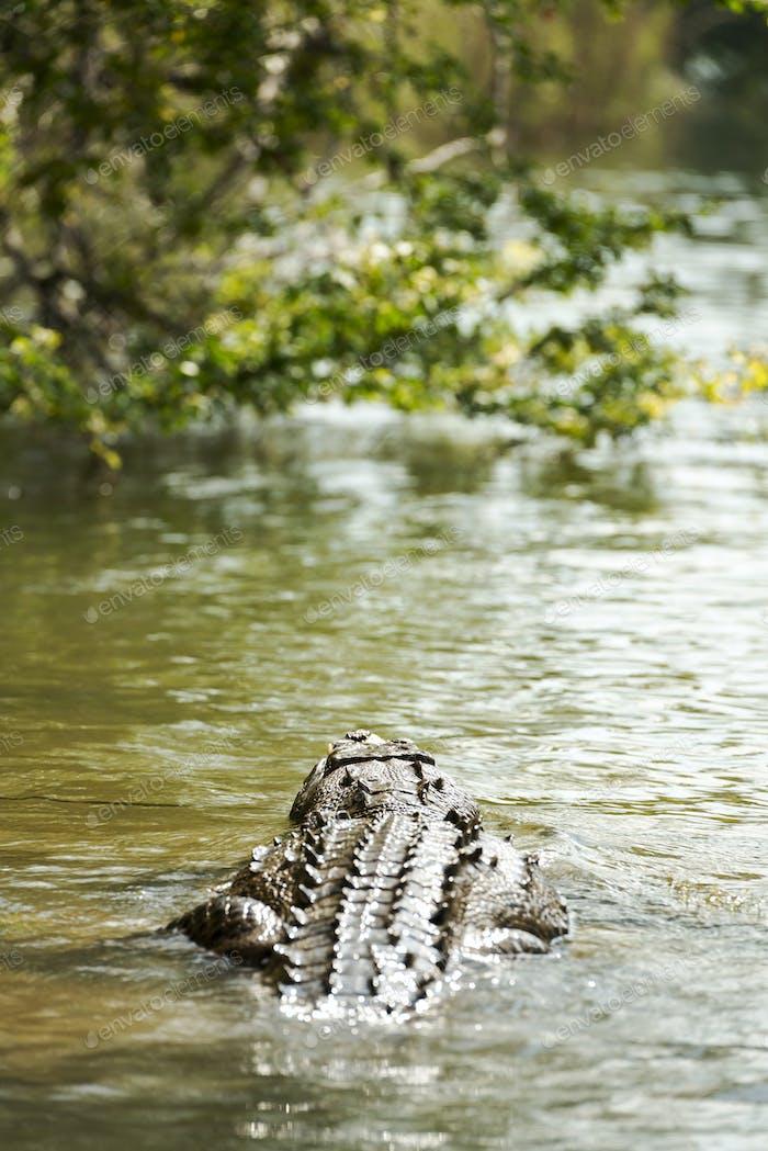 Crocodile In Jungle River