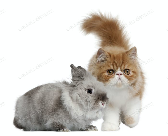 Persian Kitten, 3 months old, and Rabbit, 1 year old, in front of white background