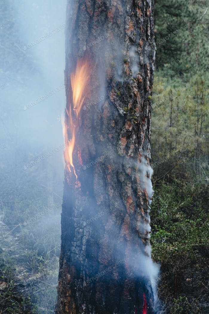A controlled forest burn, a deliberate fire for a healthier and more sustainable forest ecosystem.