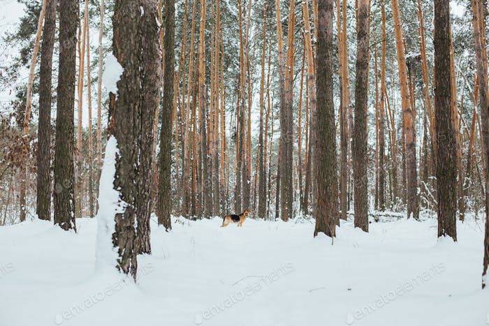 Cute german shepherd in snow forest in winter