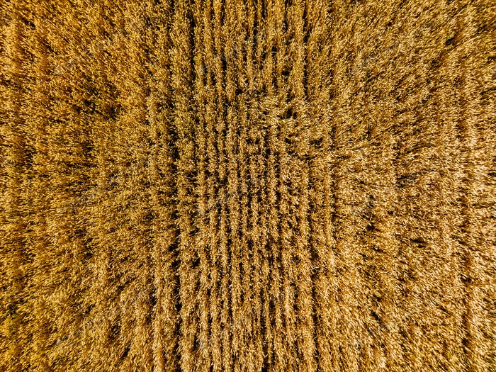 Aerial view of yellow wheat agricultural crops field, top view