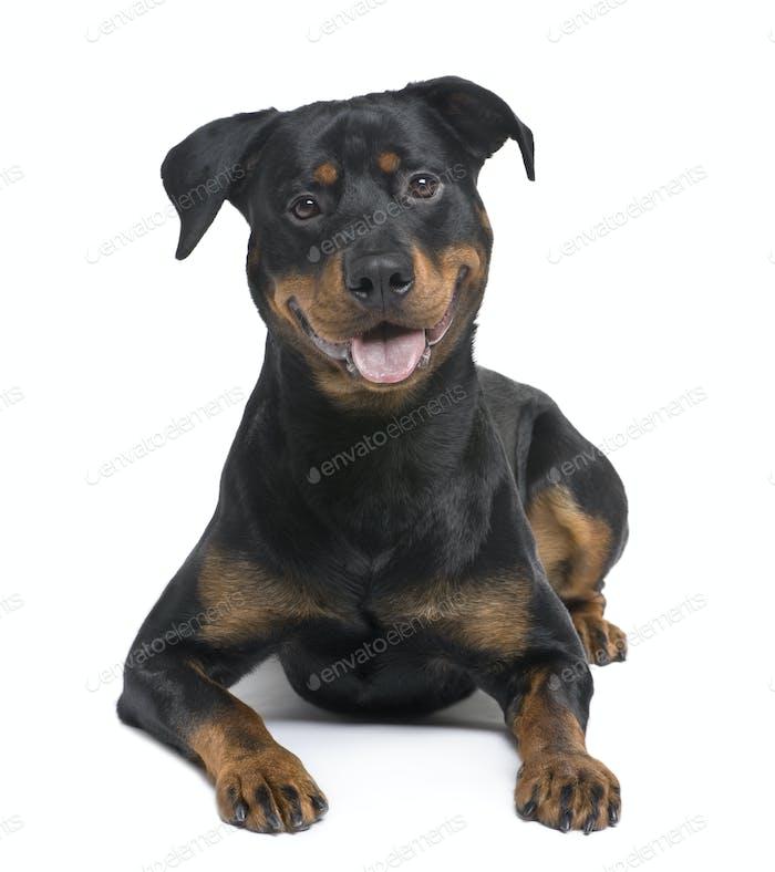 rottweiler (8 months)