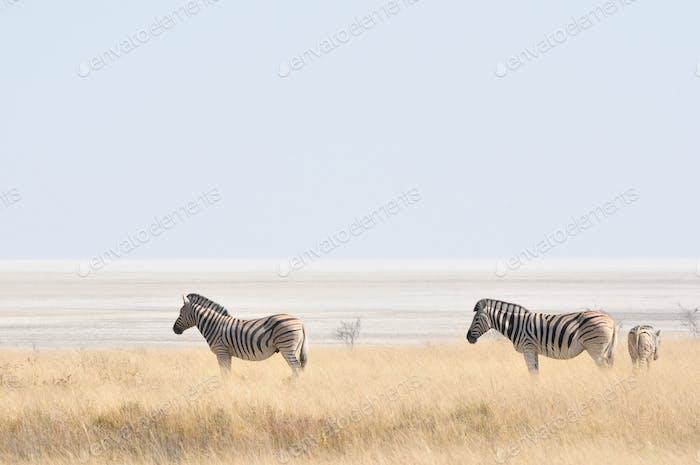 Zebras at Etosha Pan, Namibia
