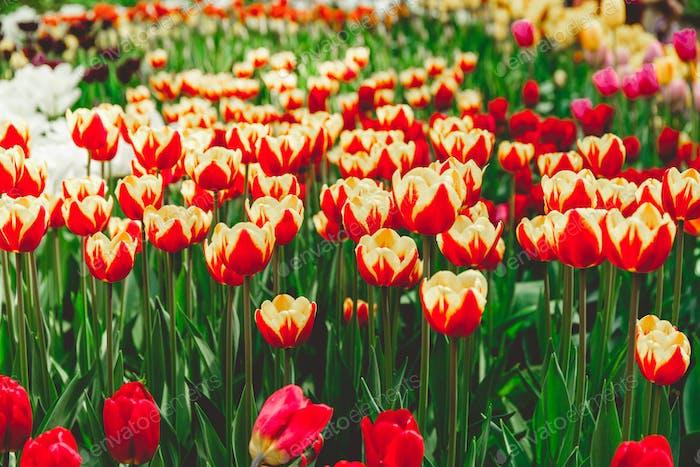Full frame red and orange tulips spring background