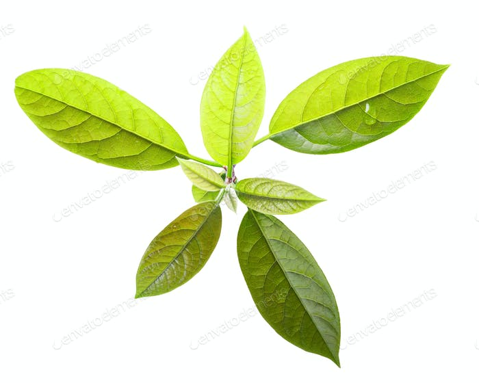 Avocado Persea americana leaves, paths