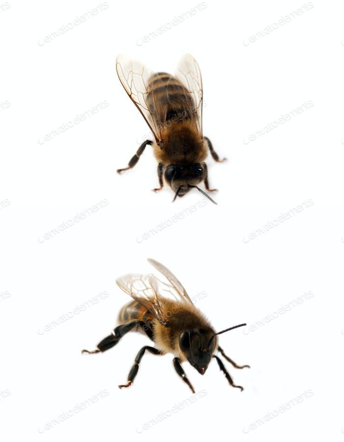 two bees isolated