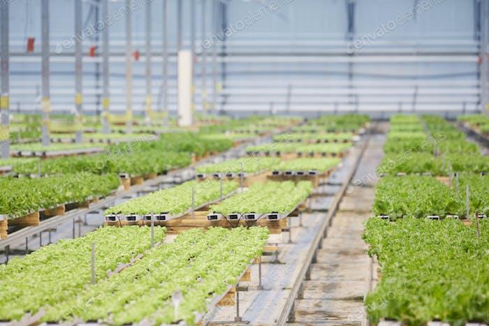 Vegetable Plantation Background
