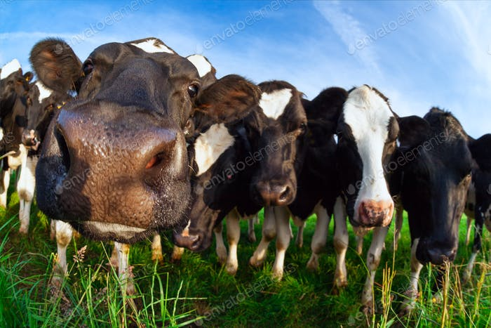 funny cow nose close up outdoos