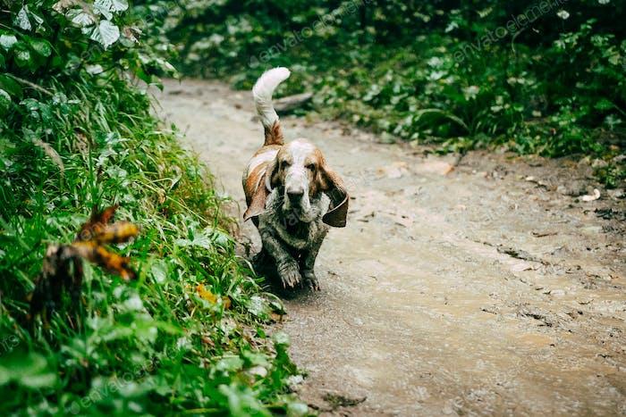 Hund Basset Hund