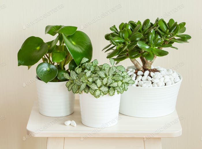 houseplants fittonia albivenis, crassula ovata, peperomia in whi
