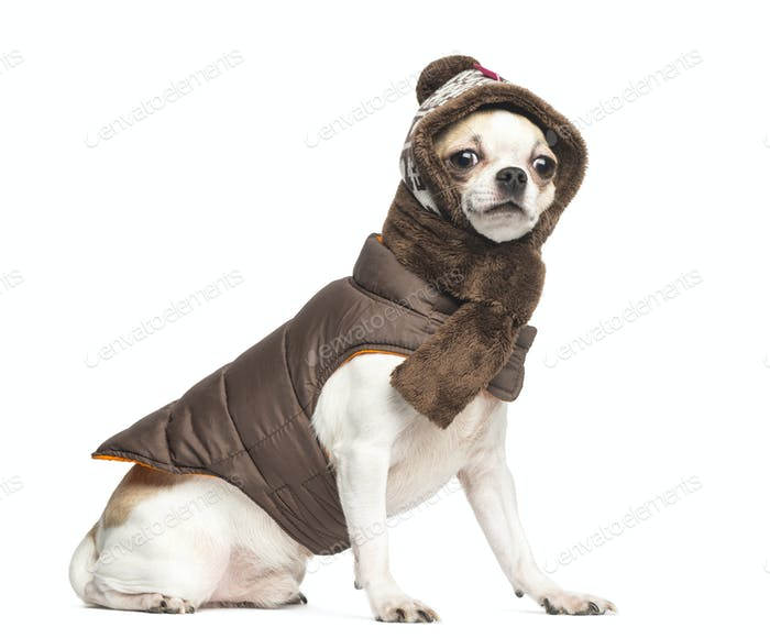 Chihuahua (2 years old) sitting and wearing a coat, a scarf and a knit hat, isolated on white