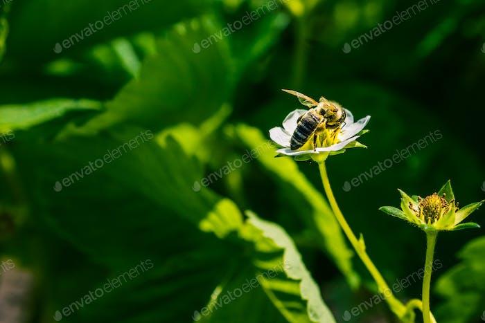 Die Biene bestäuben die Erdbeerblume. Insekt auf einer weißen Blume