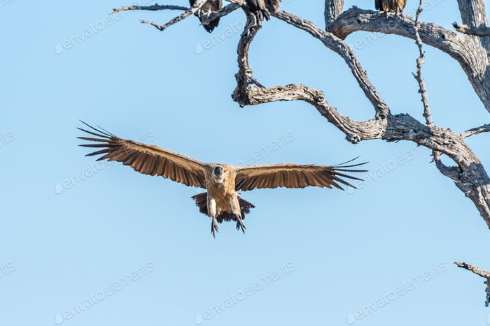 White-backed vulture in flight approaching a dead tree