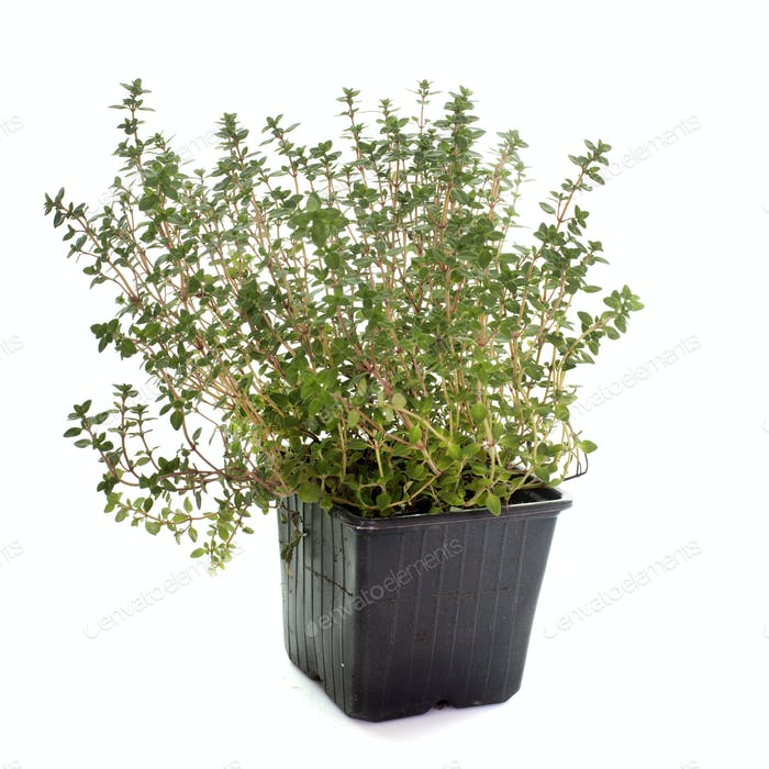 Lemon thyme in pot