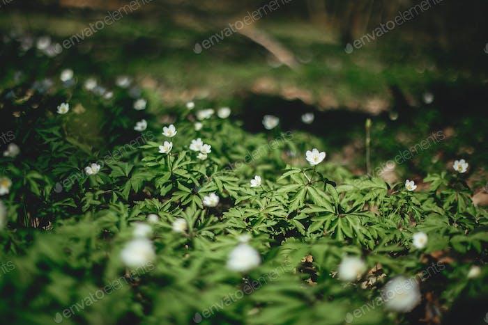 Schöne Anemonen Blumen in sonnigen Frühlingswäldern