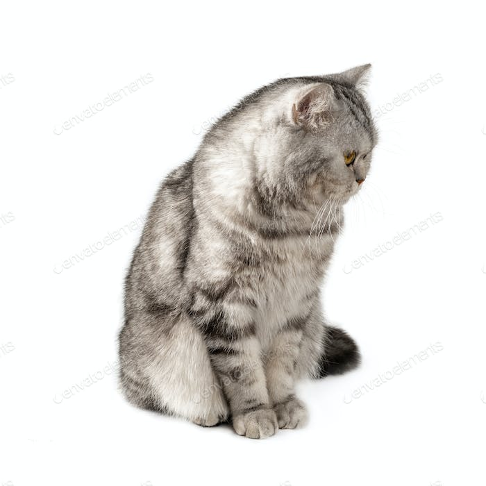 Fluffy beautiful black and white striped cat, Scottish. Sitting on a white background