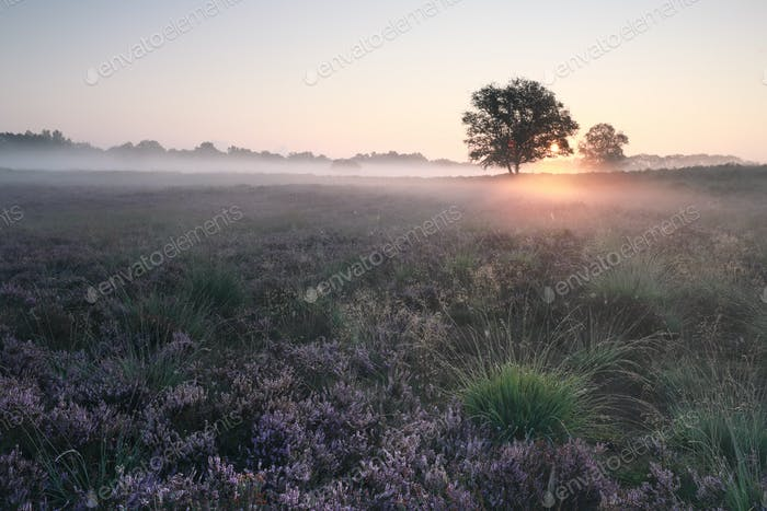 beautiful misty sunrise over blossoming heather in summer