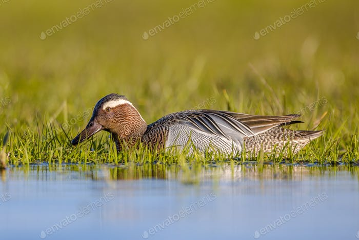 Male garganey duck foraging in wetland