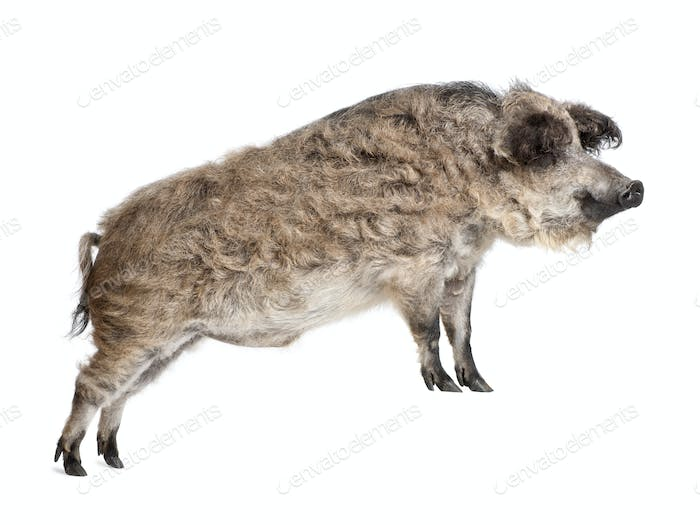 Mangalitsa or curly-hair hog standing in front of white background, studio shot