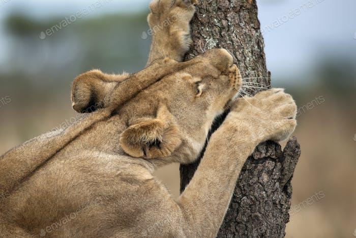 Lioness sharpening teeth on tree, Serengeti National Park, Serengeti, Tanzania, Africa