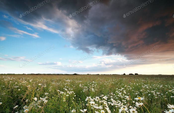 beautiful sky over chamomile field
