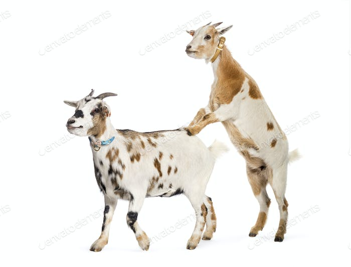 Goat preparing to mount other goat in front of white background