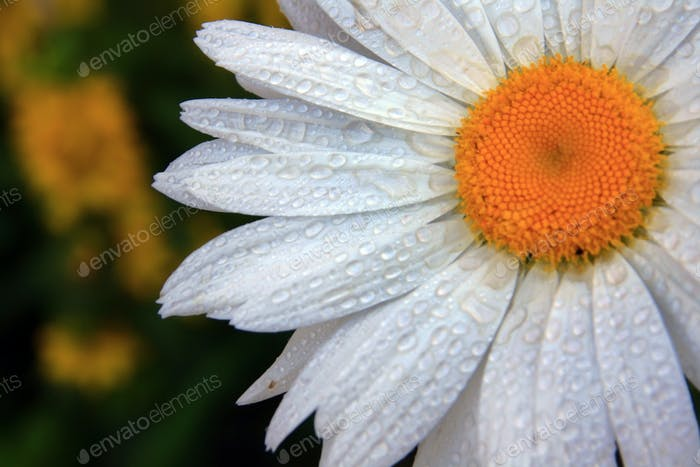 Chamomile in drops of dew