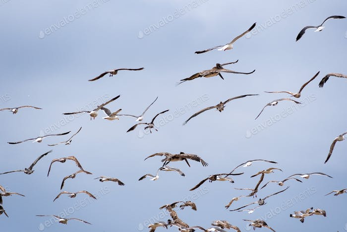Seagulls and brown pelicans flying of the Pacific Ocean coast; blue sky background