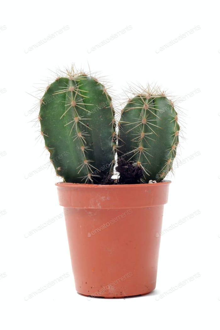 cactus in pot isolated