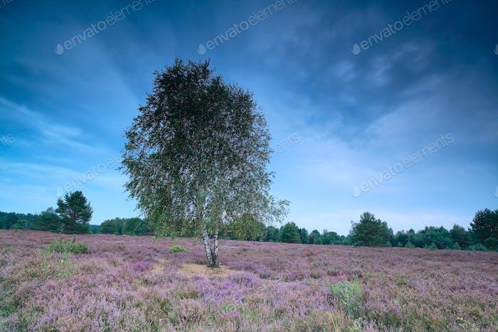 birch tree on heather meadow in dusk
