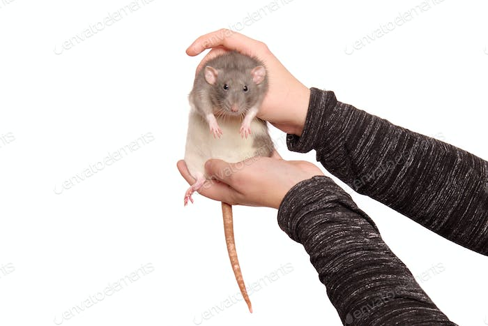 Hands of young woman with rat on white background