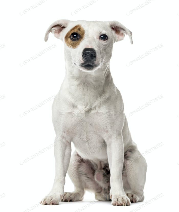 Jack russel terrier sitting , isolated on white
