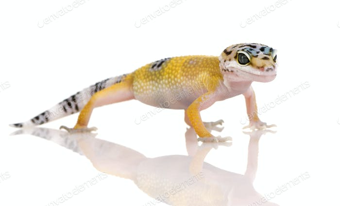 Young Leopard gecko - Eublepharis macularius