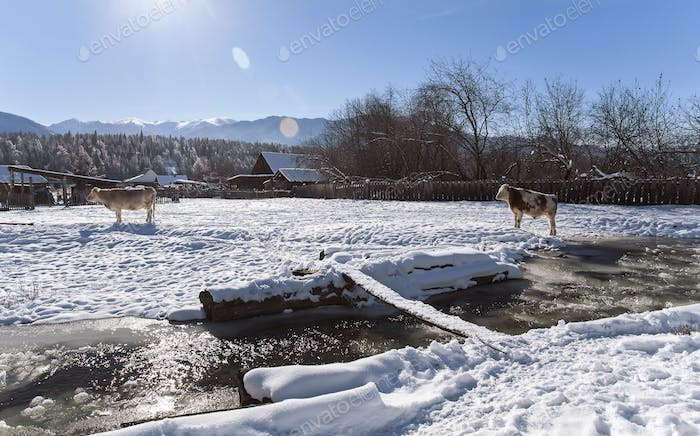 two cows stay near mountain river in the winter snowy time