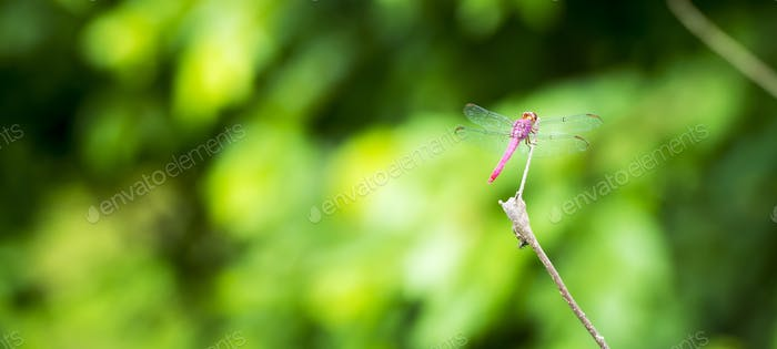 Libelle auf Ast