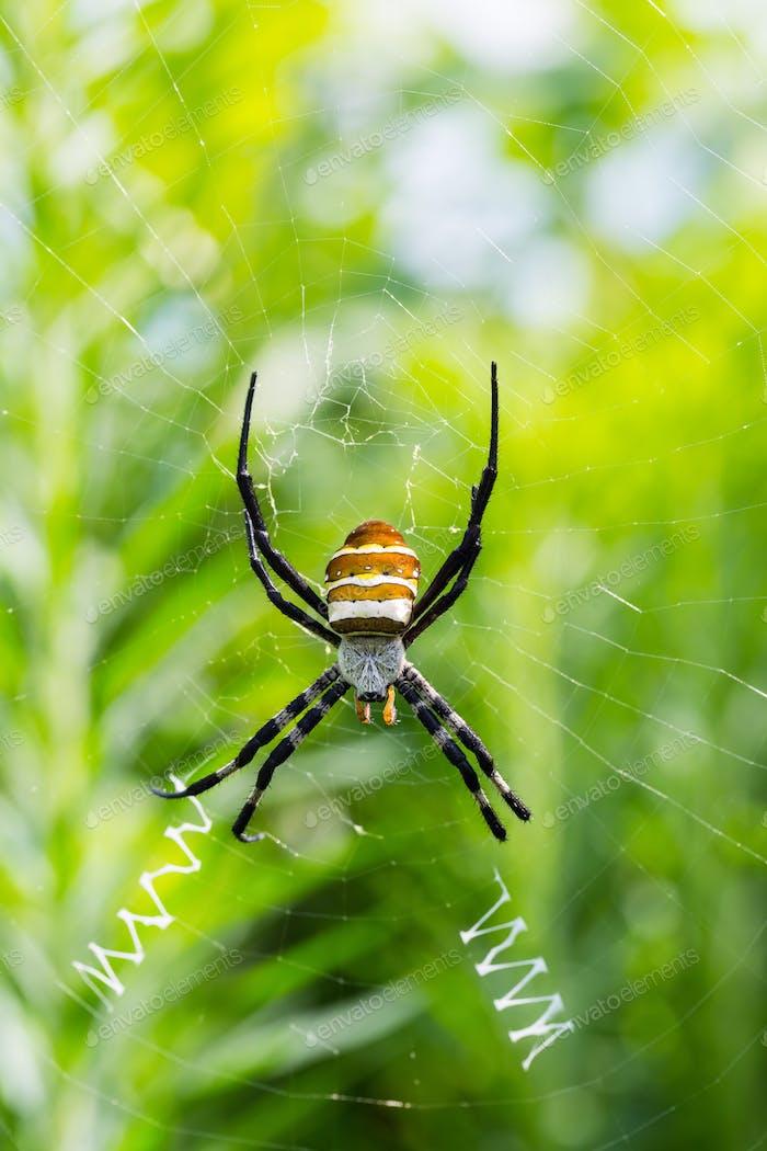 wasp spider closeup, argiope bruennichi on his web