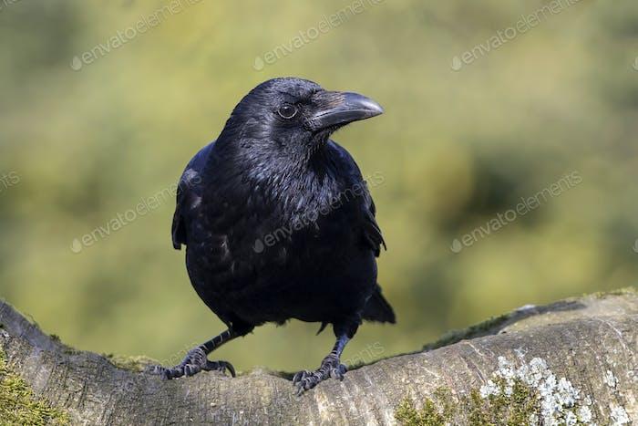 Carrion Crow Close-up