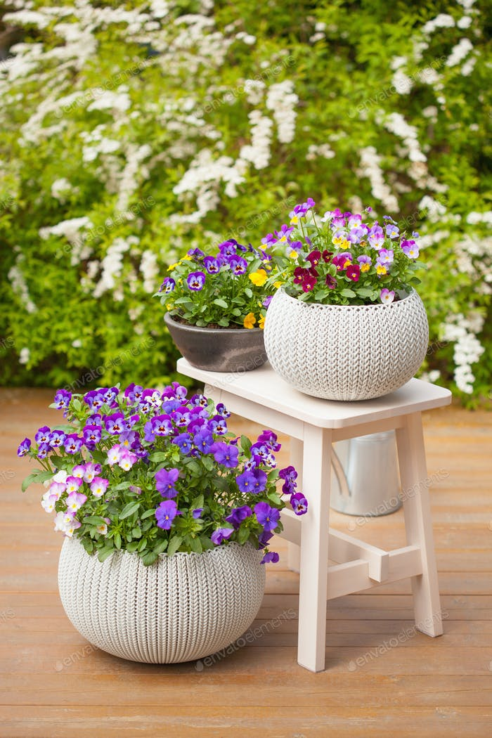 beautiful pansy summer flowers in flowerpots in garden