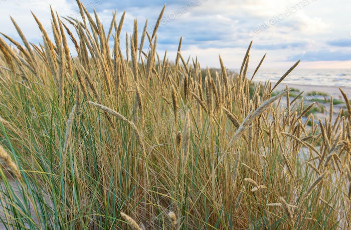 bent at the dunes of the Baltic Sea