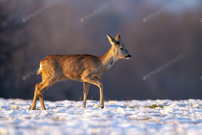 Junges Rehe im Winter zu Fuß auf Schnee