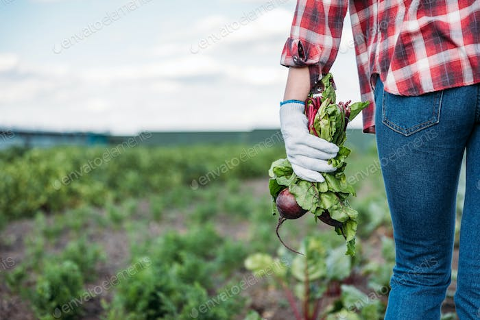cropped shot of farmer holding fresh beets while walking on field