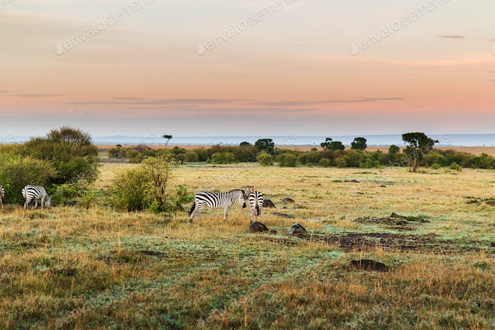 herd of zebras grazing in savannah at africa