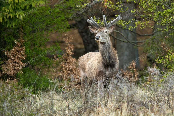 Red deer stag standing in forest in springtime nature