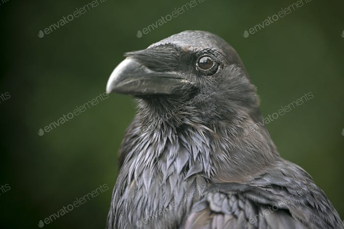 close-up view of beautiful black crow looking at camera outdoors