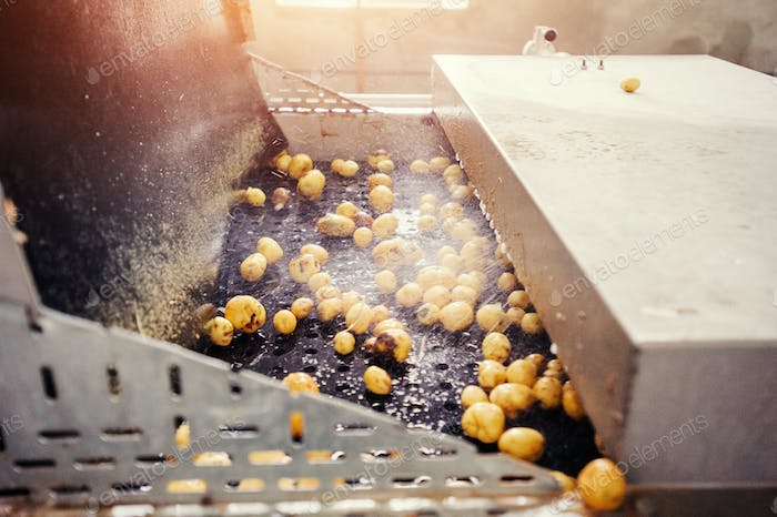 Cleaned potatoes on a conveyor belt, prepared for packing