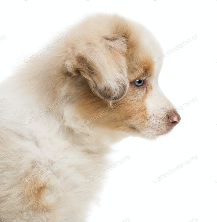Side view and close-up of an Australian Shepherd puppy, 8 weeks old against white background