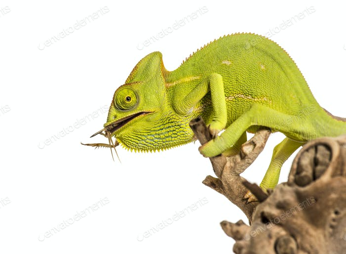 Chameleon, Chamaeleo chameleon, feeding on insect in front of white background